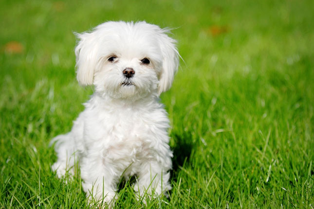 maltese puppies pensacola fl